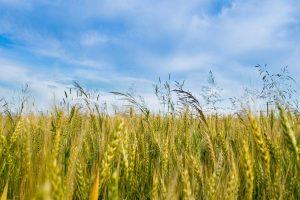 مزایده محصولات کشاورزي و باغي (مرکبات ، برنج ، سيب زميني ، گندم و ...)