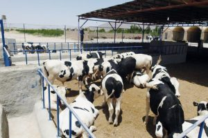 مزایده فروش گوساله نر شیرخوار
